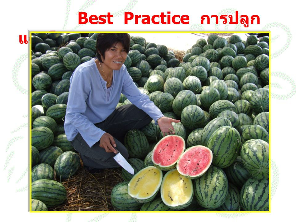 Best Practice การปลูกแตงโม