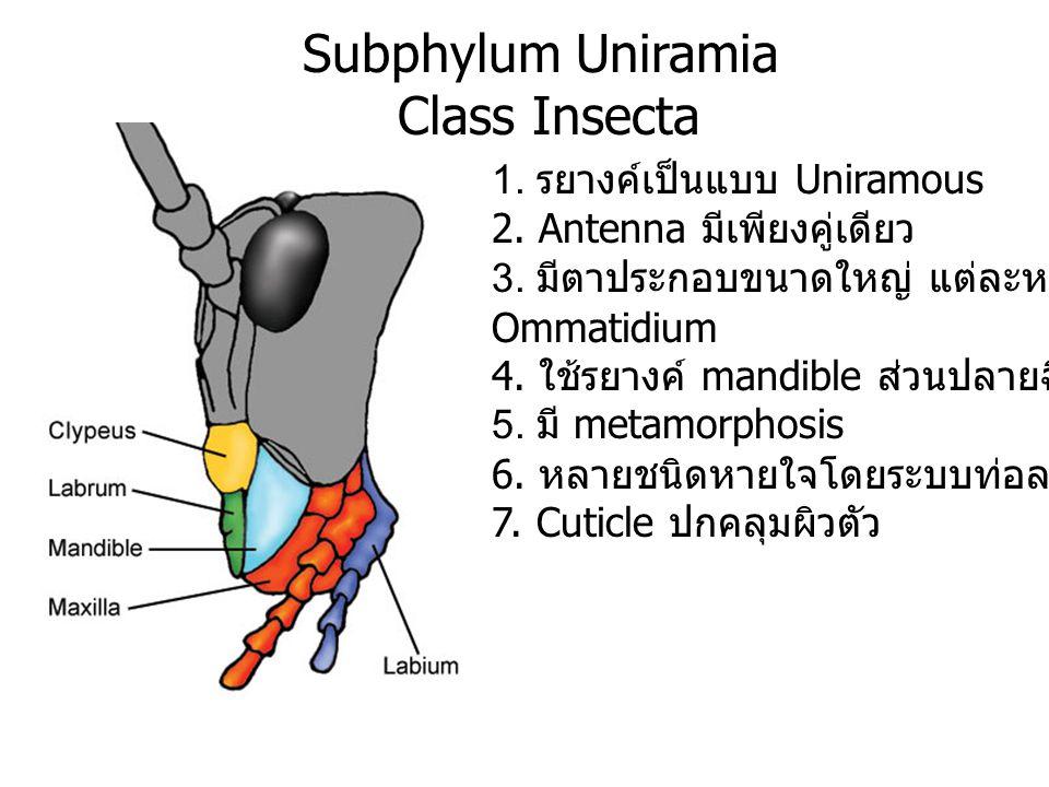 Subphylum Uniramia Class Insecta 1. รยางค์เป็นแบบ Uniramous