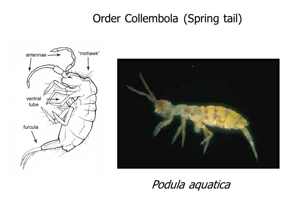 Order Collembola (Spring tail)