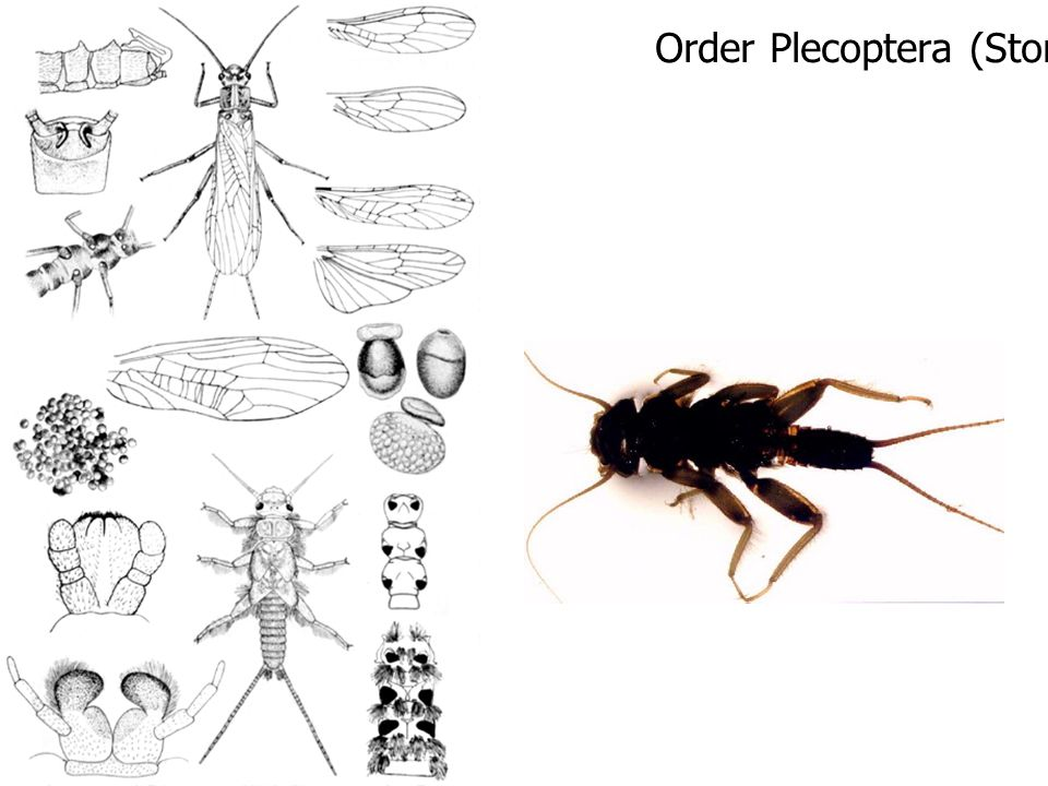 Order Plecoptera (Stone Fly)