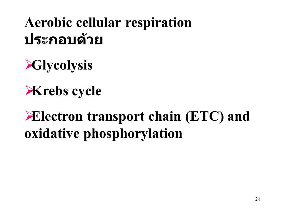 Aerobic cellular respiration ประกอบด้วย