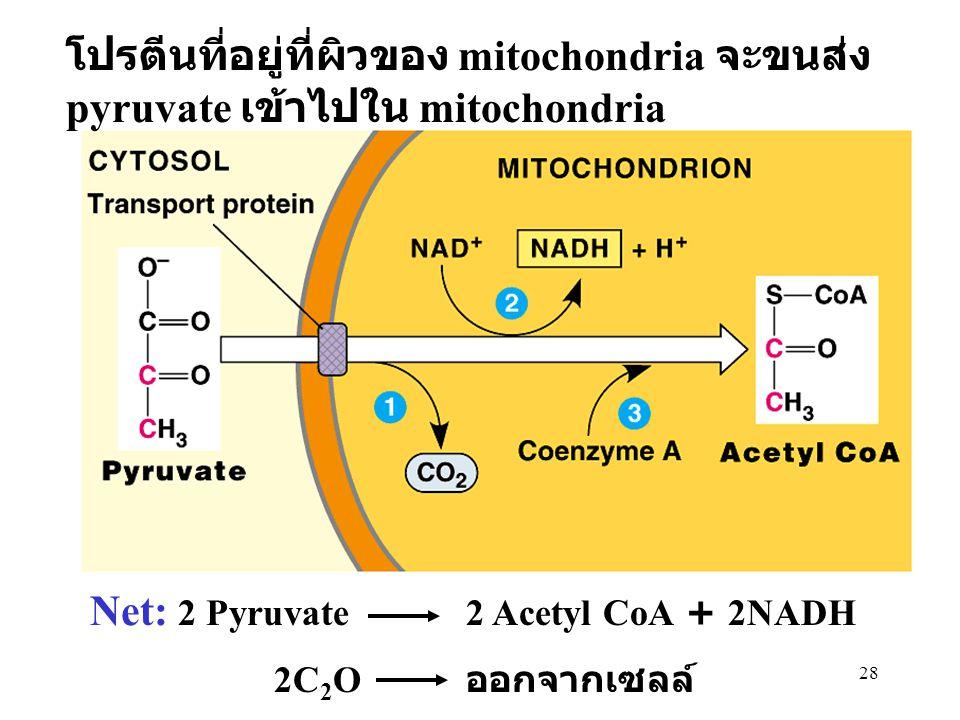 โปรตีนที่อยู่ที่ผิวของ mitochondria จะขนส่ง pyruvate เข้าไปใน mitochondria