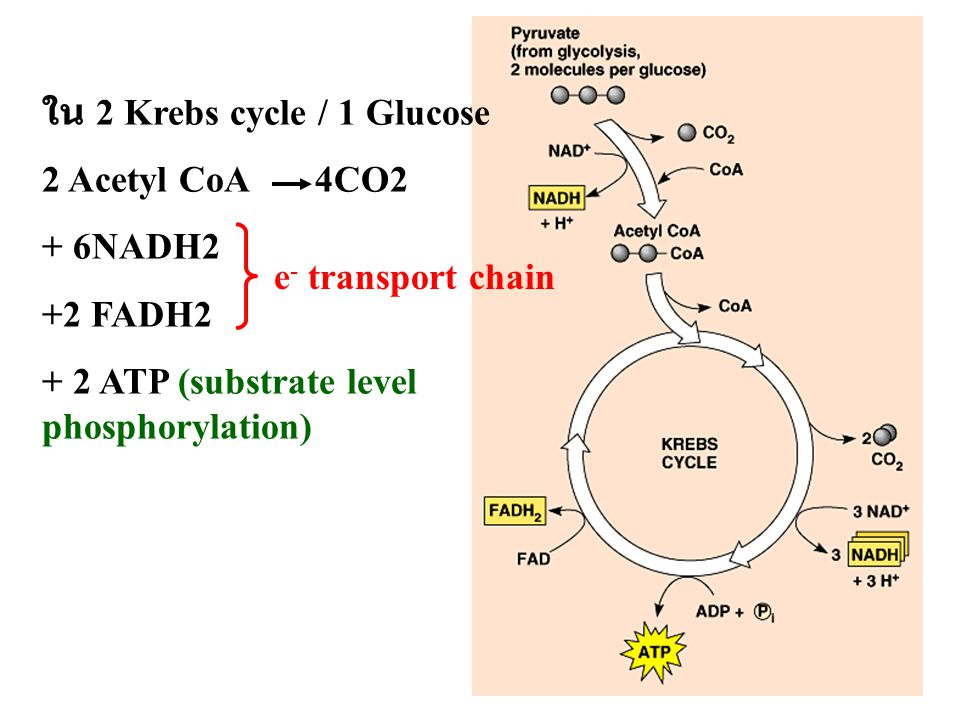 ใน 2 Krebs cycle / 1 Glucose