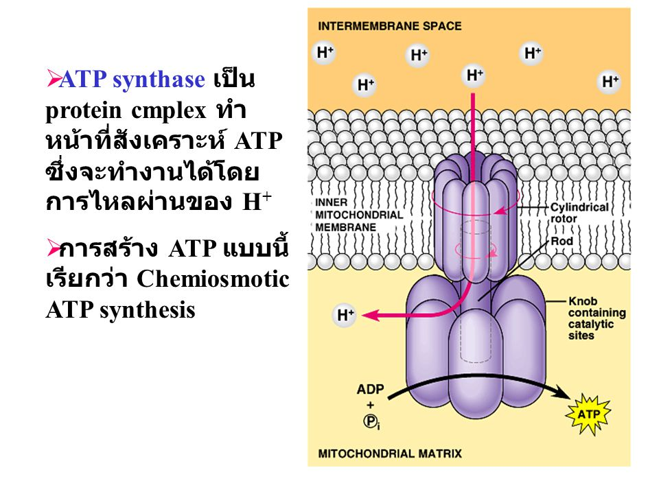 ATP synthase เป็น protein cmplex ทำหน้าที่สังเคราะห์ ATP ซึ่งจะทำงานได้โดยการไหลผ่านของ H+
