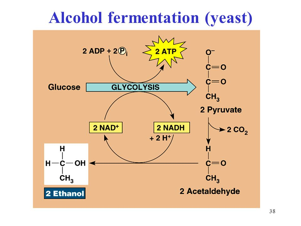 Alcohol fermentation (yeast)