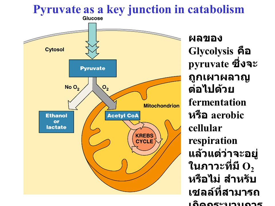Pyruvate as a key junction in catabolism