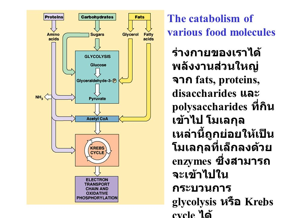 The catabolism of various food molecules