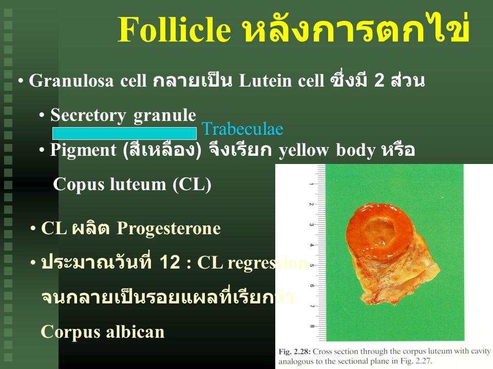 Follicle หลังการตกไข่