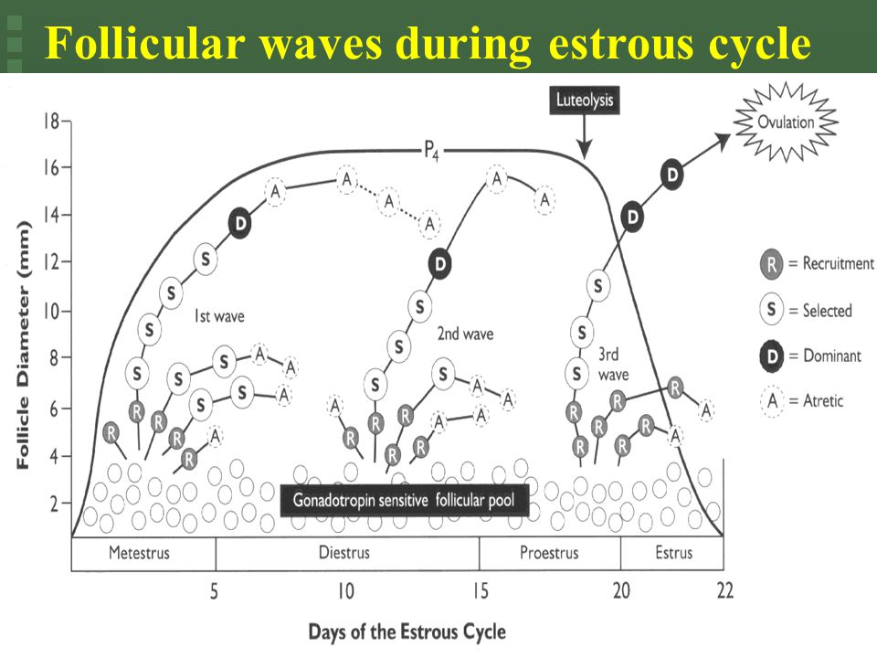 Follicular waves during estrous cycle