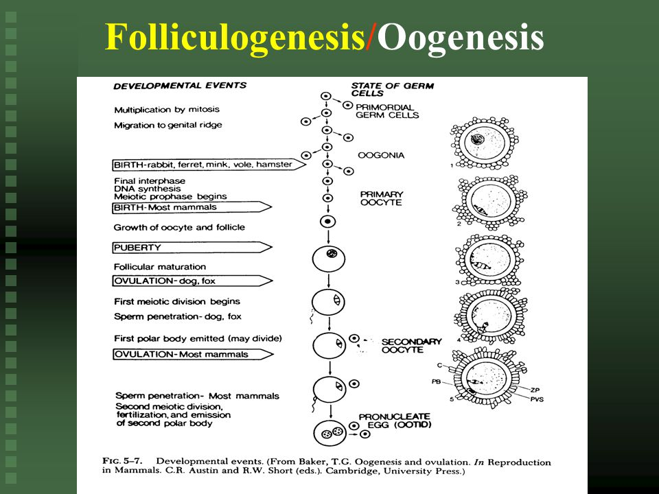 Folliculogenesis/Oogenesis