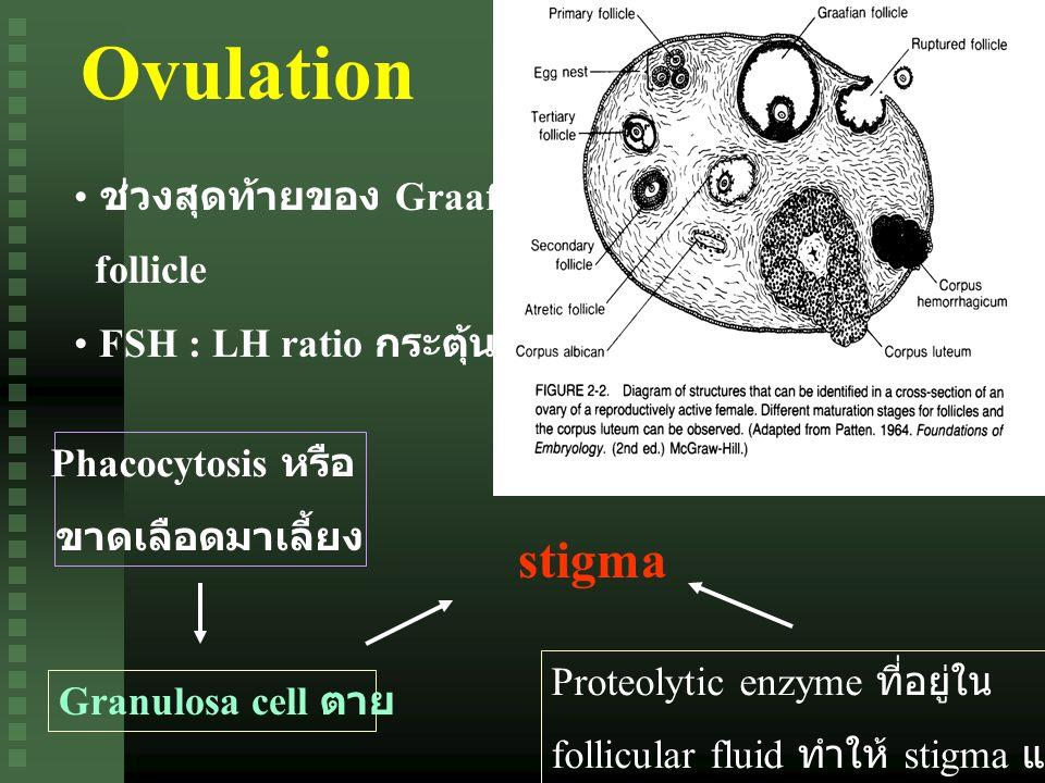 Ovulation stigma ช่วงสุดท้ายของ Graafian follicle
