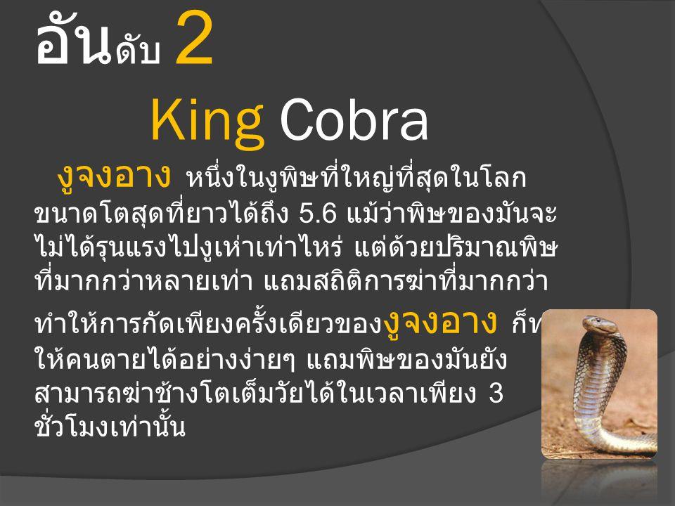 อันดับ 2 King Cobra