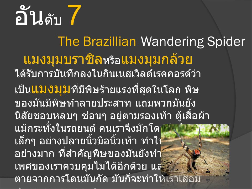 อันดับ 7 The Brazillian Wandering Spider