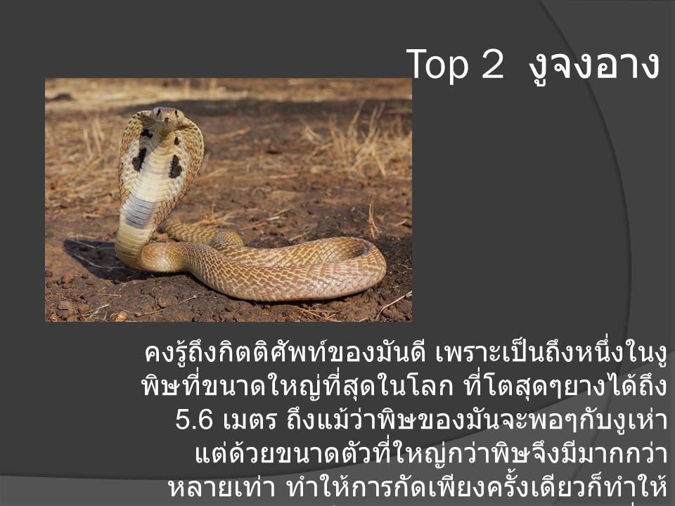 Top 2 งูจงอาง