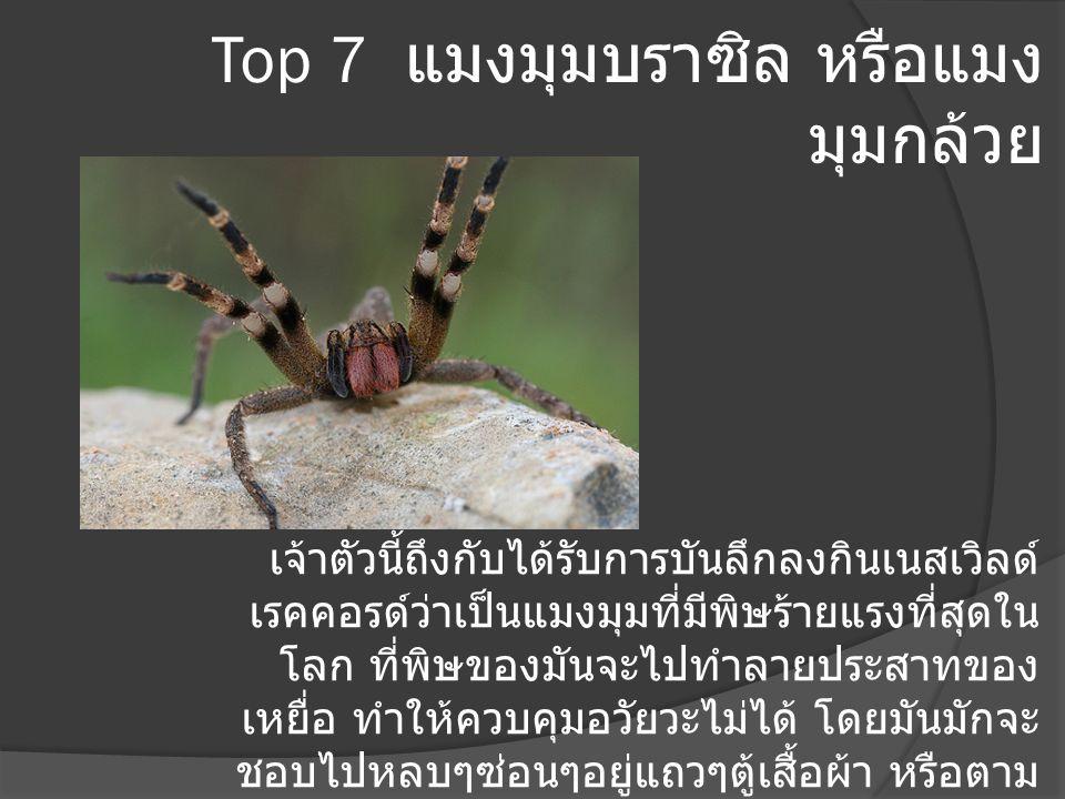 Top 7 แมงมุมบราซิล หรือแมงมุมกล้วย