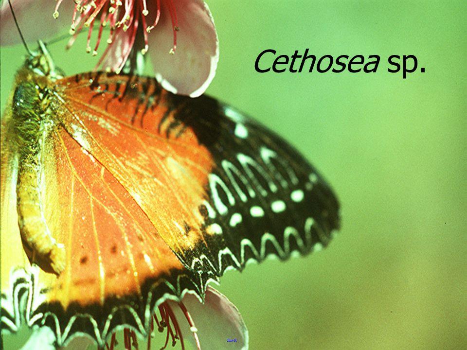 Cethosea sp.