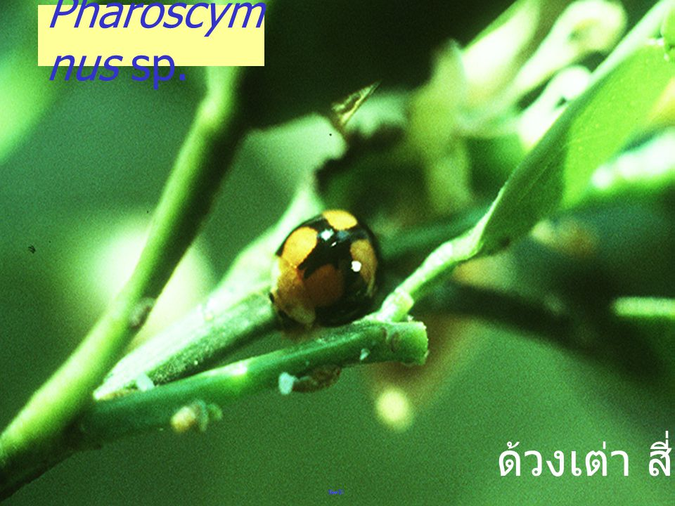 Pharoscymnus sp. ด้วงเต่า สี่จุด
