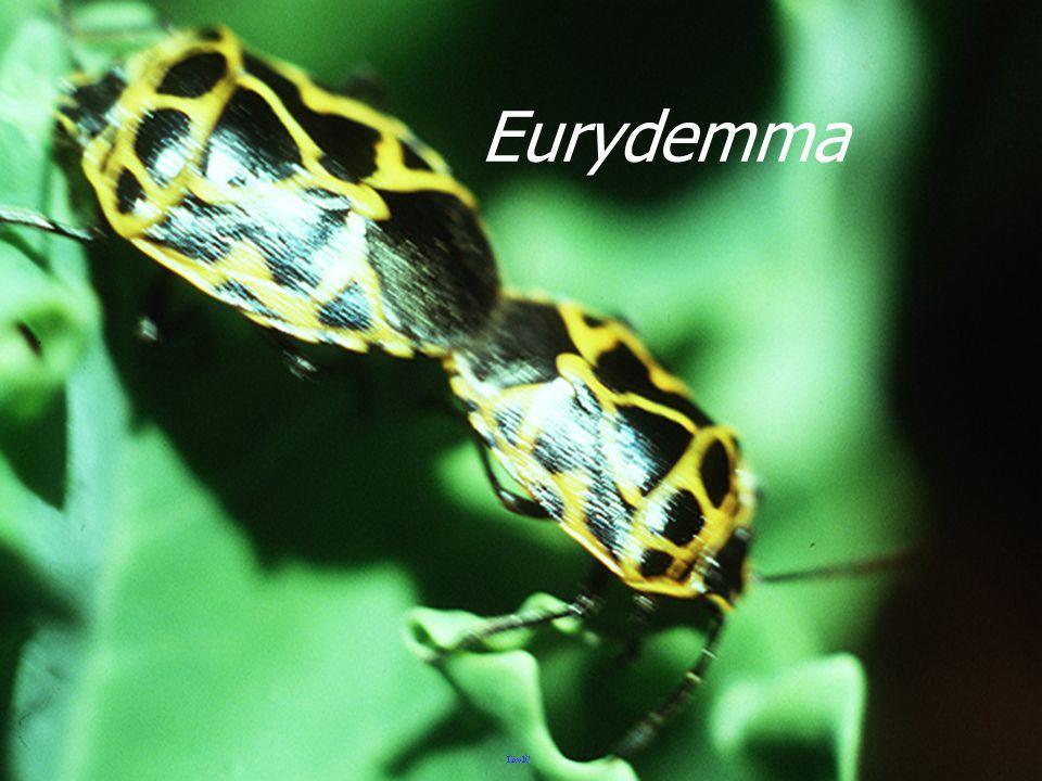 Eurydemma