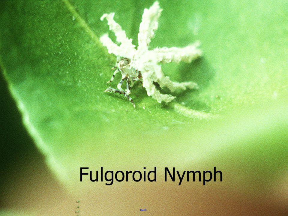 Fulgoroid Nymph