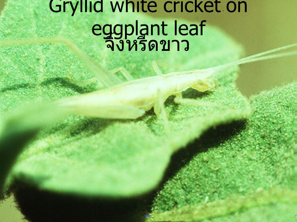 Gryllid white cricket on eggplant leaf