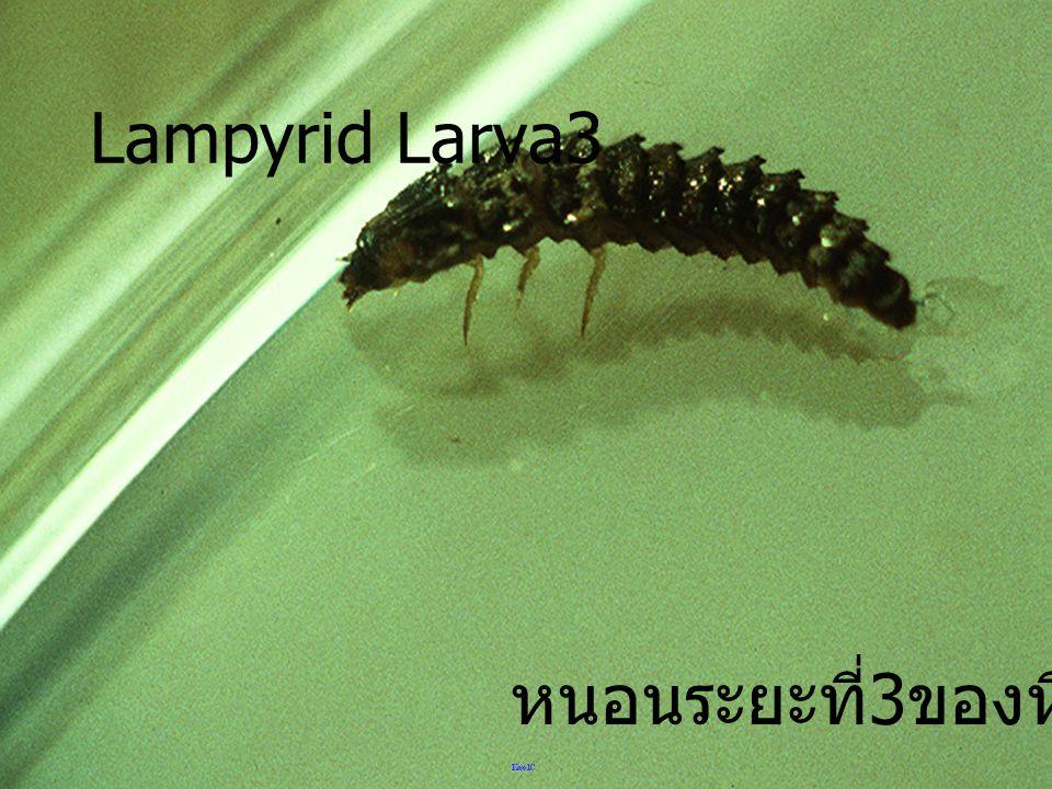 Lampyrid Larva3 หนอนระยะที่3ของหิงห้อย