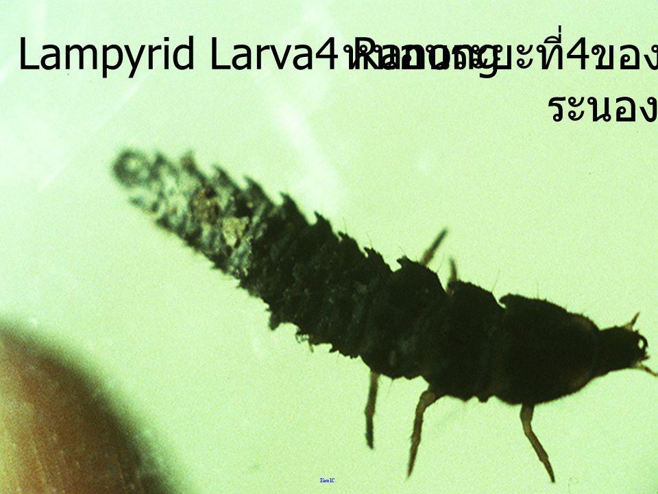Lampyrid Larva4 Ranong หนอนระยะที่4ของหิงห้อย ระนอง