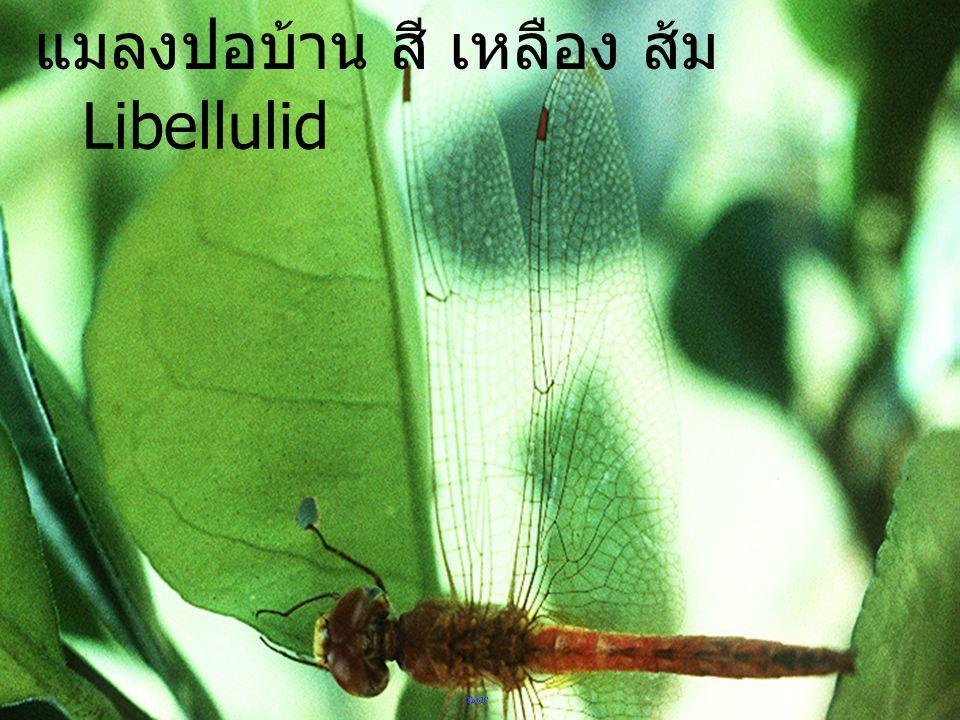 แมลงปอบ้าน สี เหลือง ส้ม