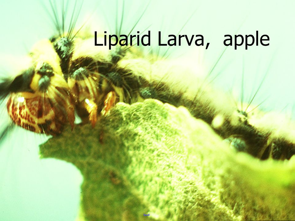 Liparid Larva, apple