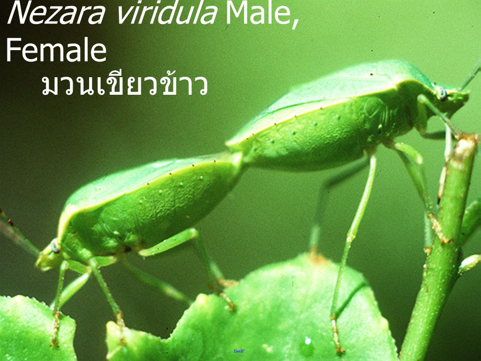 Nezara viridula Male, Female