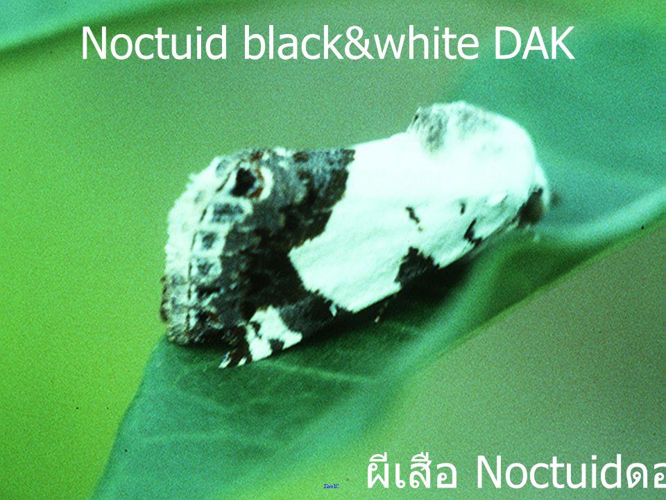 Noctuid black&white DAK