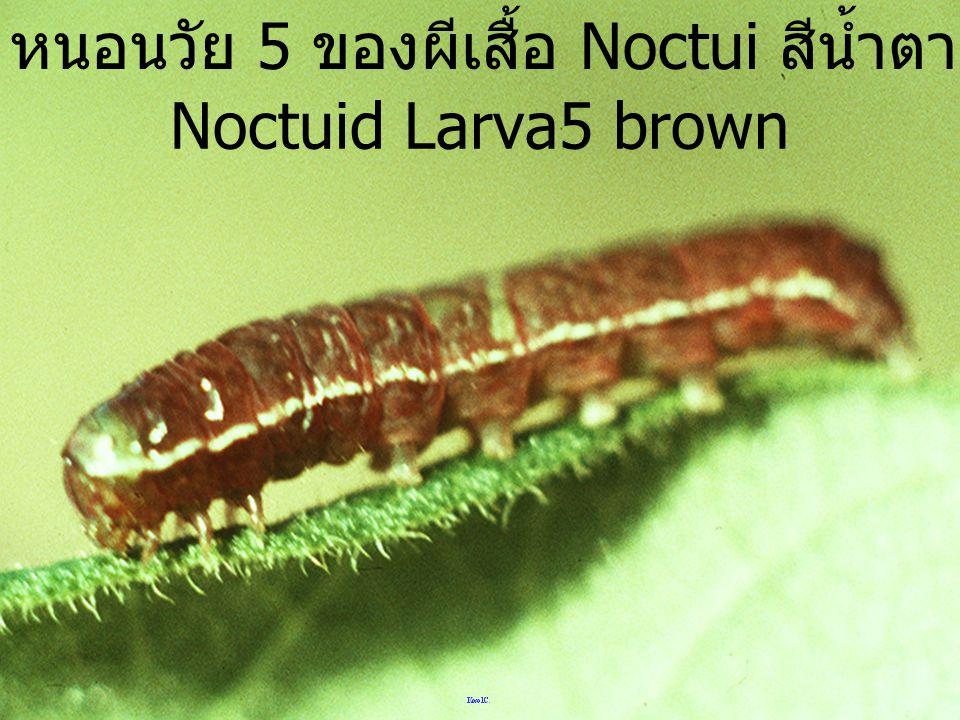 หนอนวัย 5 ของผีเสื้อ Noctui สีน้ำตาล