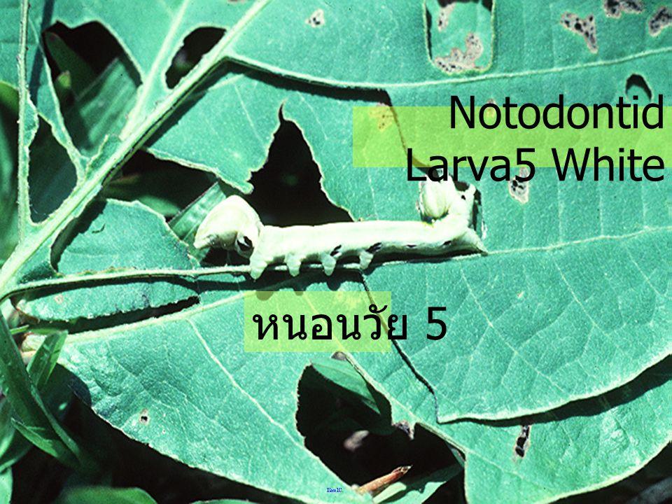 Notodontid Larva5 White