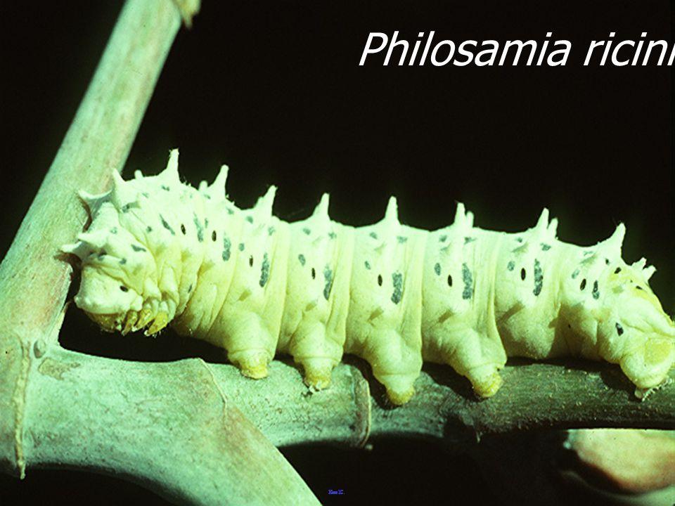 Philosamia ricini Larva5