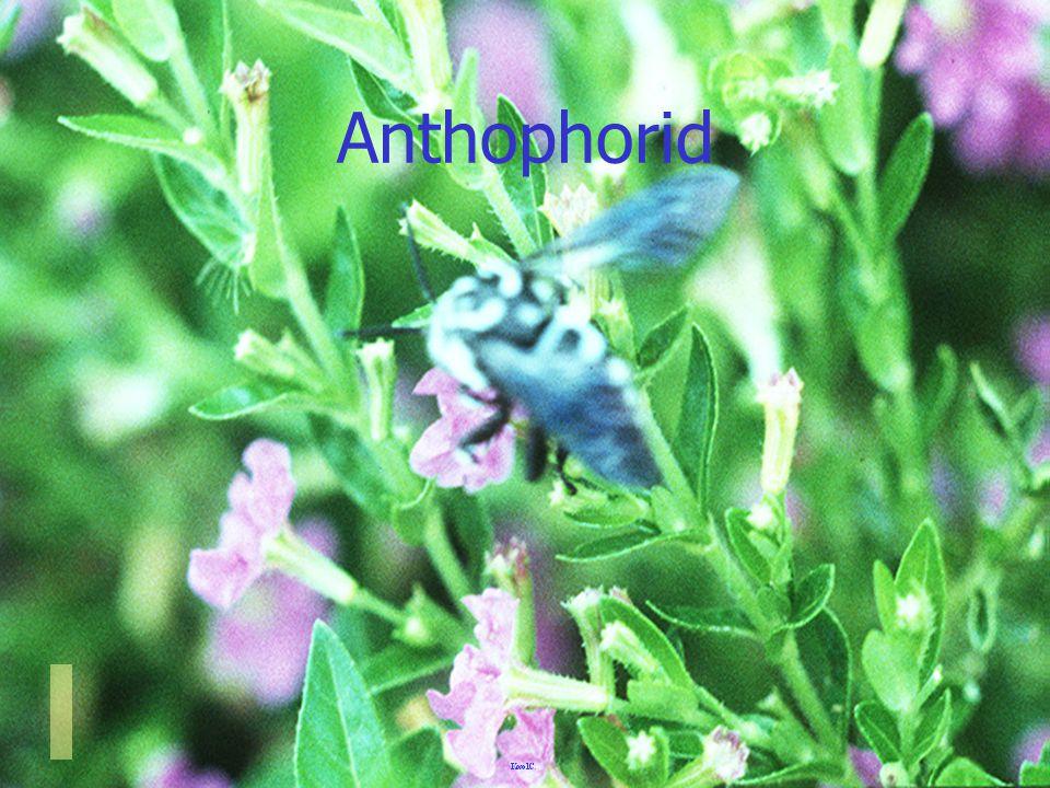 Anthophorid