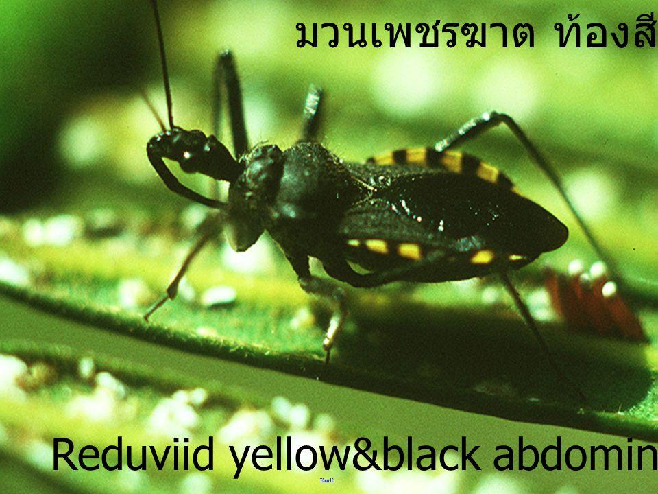 มวนเพชรฆาต ท้องสีดำ เหลือง