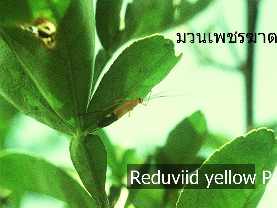มวนเพชรฆาต Reduviid yellow PangDa