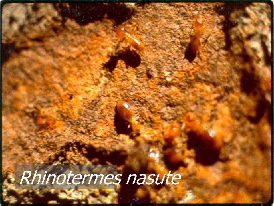 Rhinotermes nasute