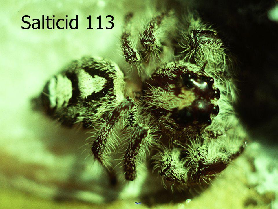Salticid 113