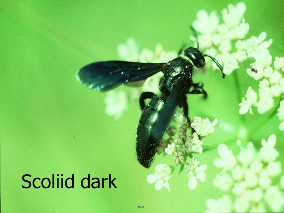 Scoliid dark