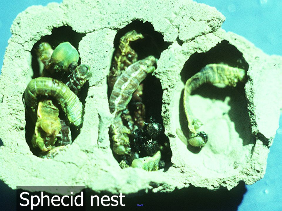 Sphecid nest