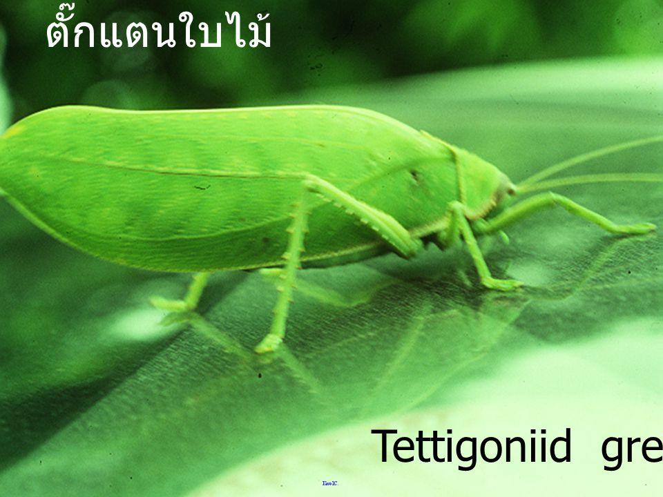 ตั๊กแตนใบไม้ Tettigoniid green leaf
