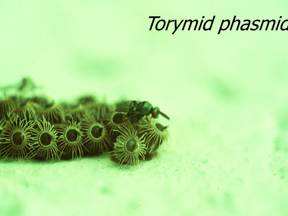 Torymid phasmid Egg par