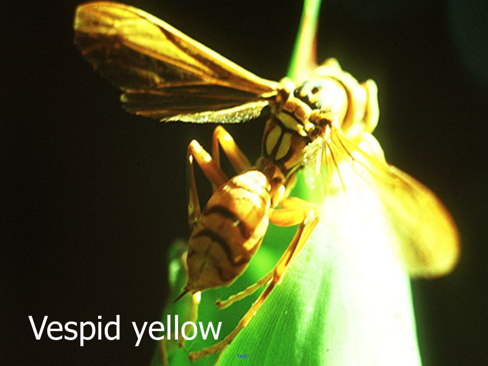 Vespid yellow