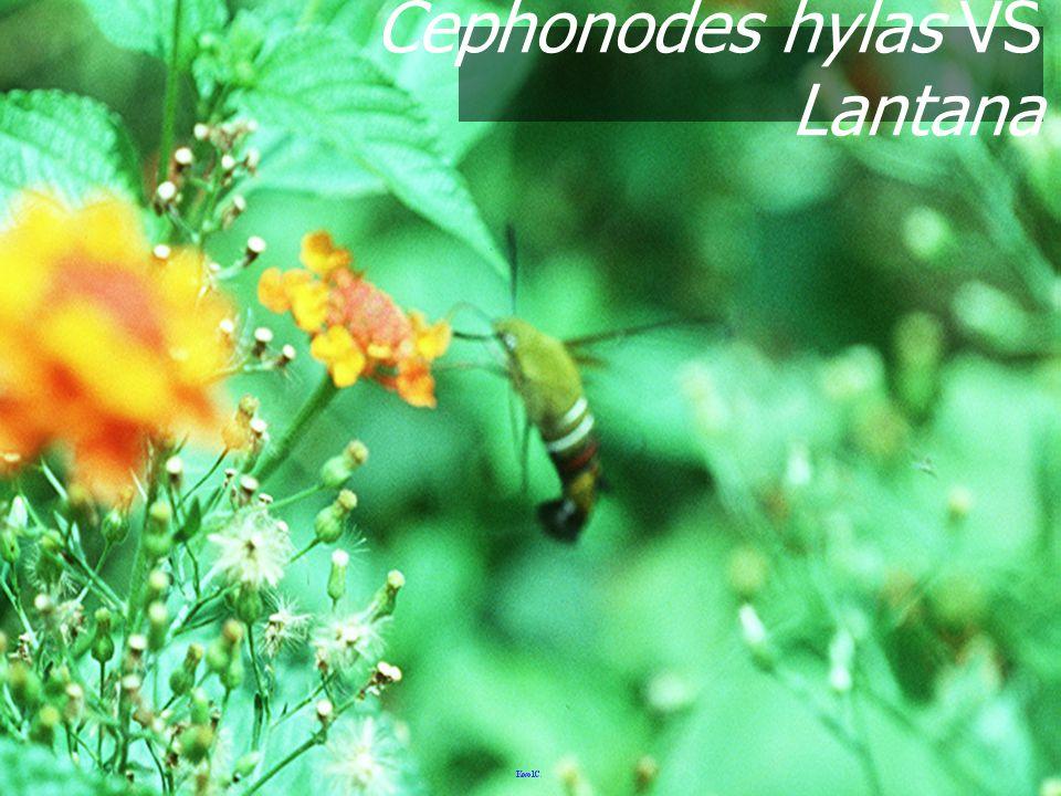 Cephonodes hylas VS Lantana