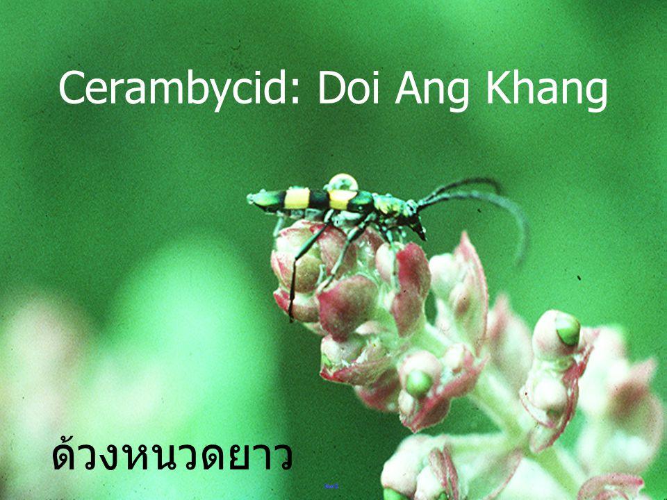 Cerambycid: Doi Ang Khang