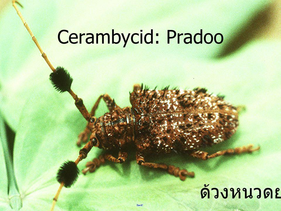 Cerambycid: Pradoo ด้วงหนวดยาว