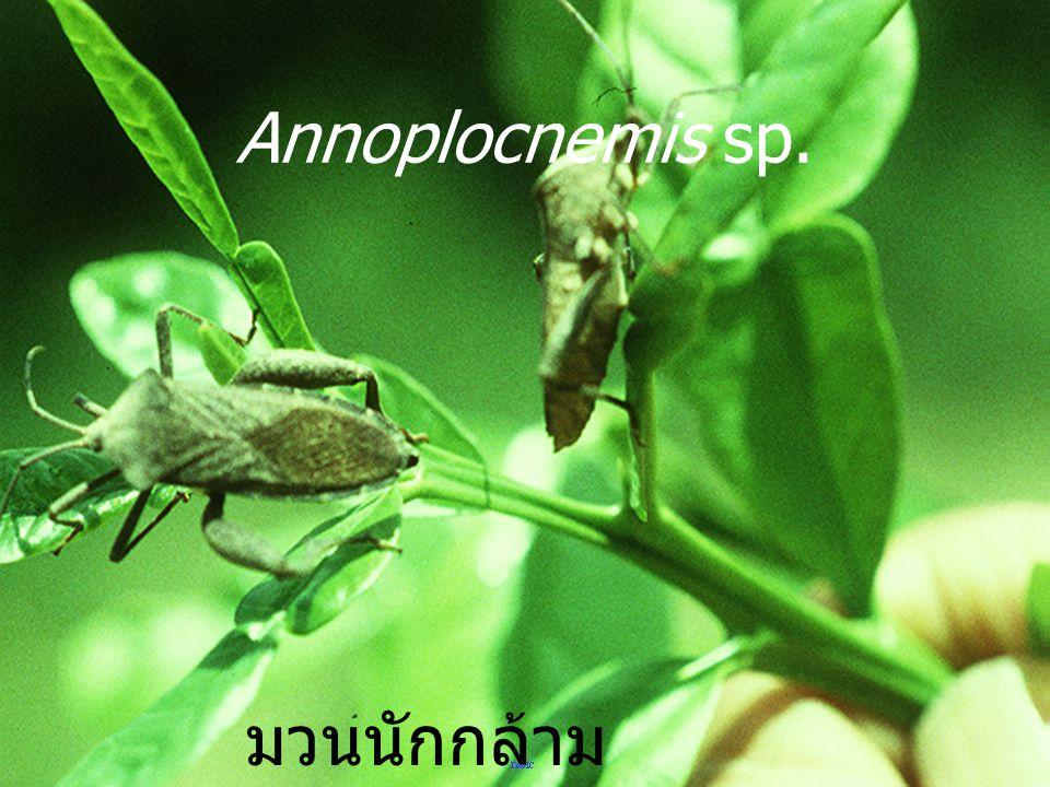 Annoplocnemis sp. มวนนักกล้าม