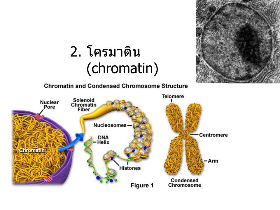 2. โครมาติน (chromatin)