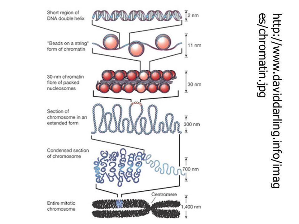 http://www.daviddarling.info/images/chromatin.jpg
