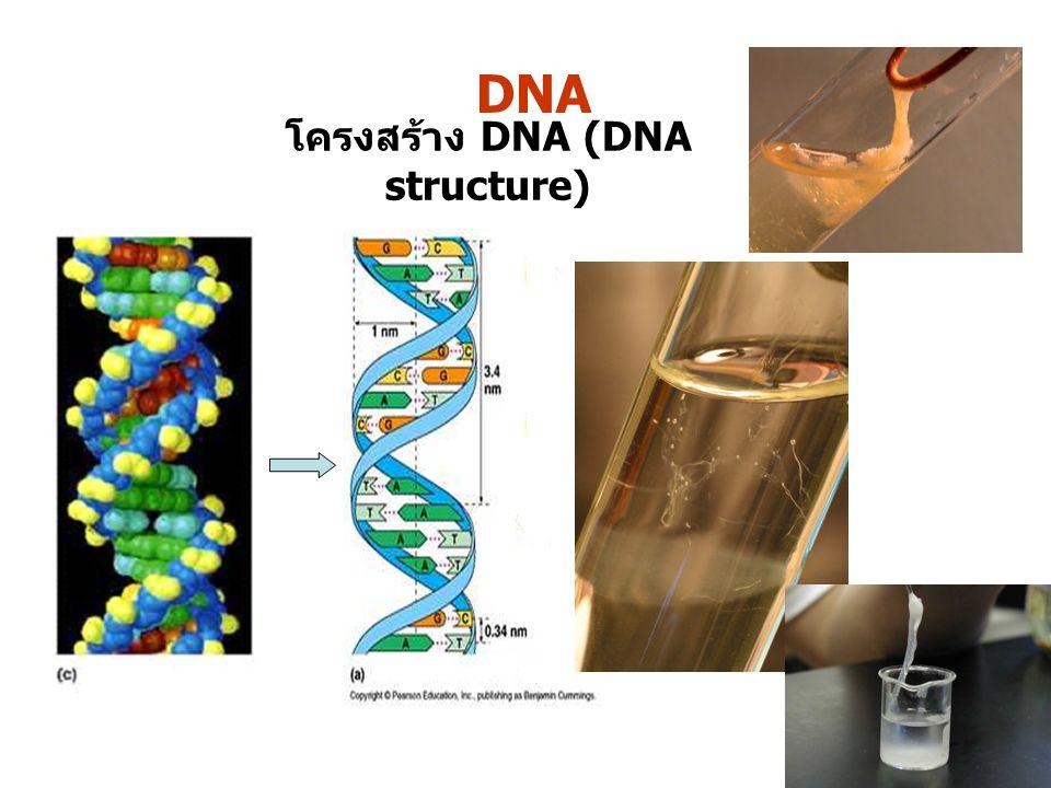 โครงสร้าง DNA (DNA structure)